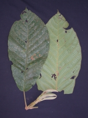 Sloanea megaphylla Leaf