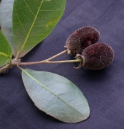 Sloanea terniflora Fruit