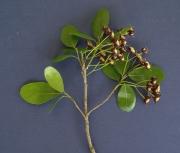 Sloanea terniflora Flower Leaf
