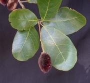 Sloanea terniflora Fruit Leaf