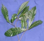 Sloanea terniflora Leaf
