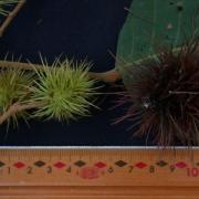 Sloanea zuliaensis Fruit