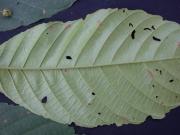 Sloanea zuliaensis Leaf