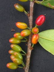 Erythroxylum citrifolium Fruit