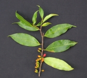 Erythroxylum citrifolium Fruit Leaf