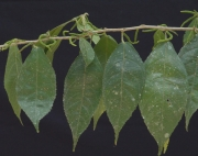 Acalypha diversifolia Flower Leaf