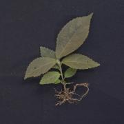 Acalypha diversifolia