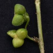 Acidoton nicaraguensis Fruit