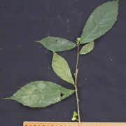 Acidoton nicaraguensis Fruit Leaf