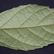 Acidoton nicaraguensis Leaf