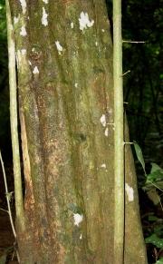 Adelia triloba Trunk