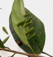 Alchornea latifolia