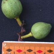 Amanoa guianensis Fruit