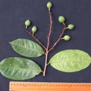 Amanoa guianensis Fruit Leaf