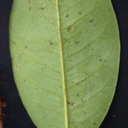 Amanoa guianensis Leaf