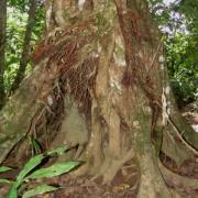 Amanoa guianensis Root