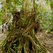Amanoa guianensis Trunk