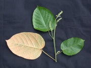 Croton billbergianus Flower Leaf