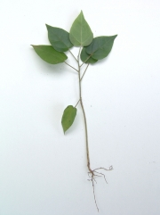 Croton billbergianus