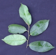 Croton pachypodus Leaf