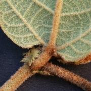 Croton santaritensis Gland
