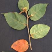 Croton santaritensis Leaf