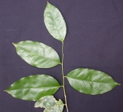 Drypetes standleyi Leaf