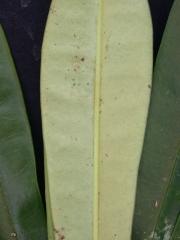 Euphorbia elata Leaf