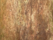 Hieronyma alchorneoides Bark