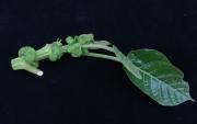 Hieronyma alchorneoides Leaf