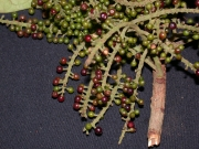 Hieronyma alchorneoides Fruit