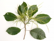Hieronyma alchorneoides Flower Leaf