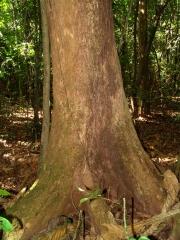 Hieronyma alchorneoides Trunk