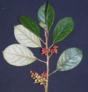 Hieronyma oblonga Fruit Leaf