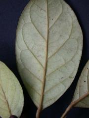 Hieronyma oblonga Leaf