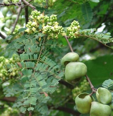 Caesalpinia coriaria Flower Fruit Leaf