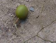 Dialium guianense Fruit