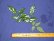 Dialium guianense Leaf