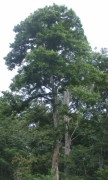 Prioria copaifera