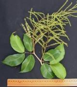 Prioria copaifera Flower Leaf