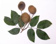 Prioria copaifera Fruit Leaf