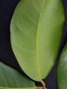 Prioria copaifera Leaf