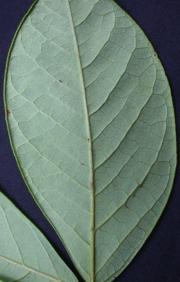 Senna dariensis Leaf
