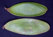 Tachigali versicolor Fruit
