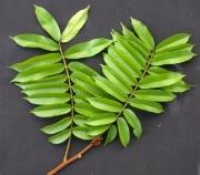 Tachigali versicolor Leaf