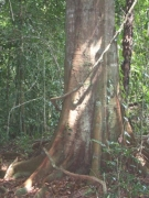 Tachigali versicolor Trunk