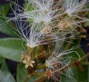Inga cocleensis Flower