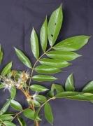 Inga cocleensis Flower Leaf