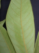 Inga cocleensis Leaf