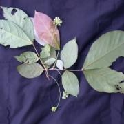 Inga filiformis Flower Leaf